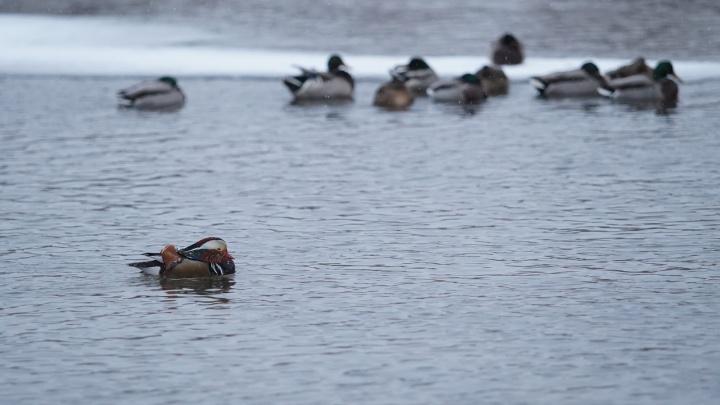 «Мандаринка замерзает»: челябинцы переживают за редких птиц, появившихся на реке Миасс