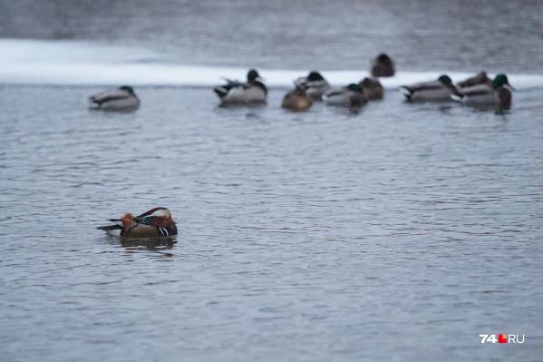 Мандаринка сейчас плавает по реке Миасс