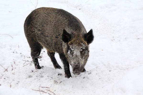 Любителям охоты лучше обходить диких свиней стороной