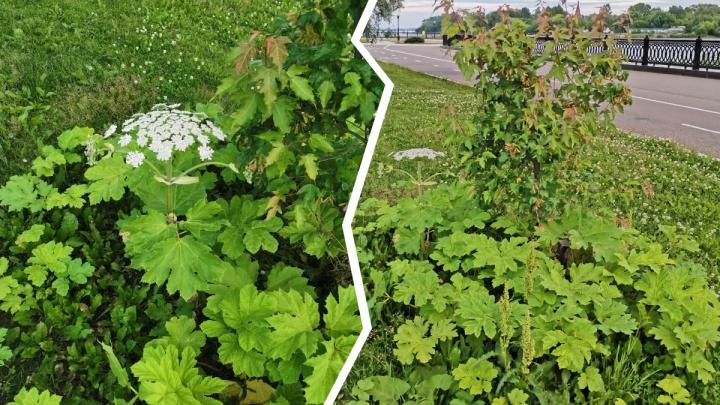 В Ярославле на Стрелке зацвёл борщевик: как коммунальщики борются с опасным растением