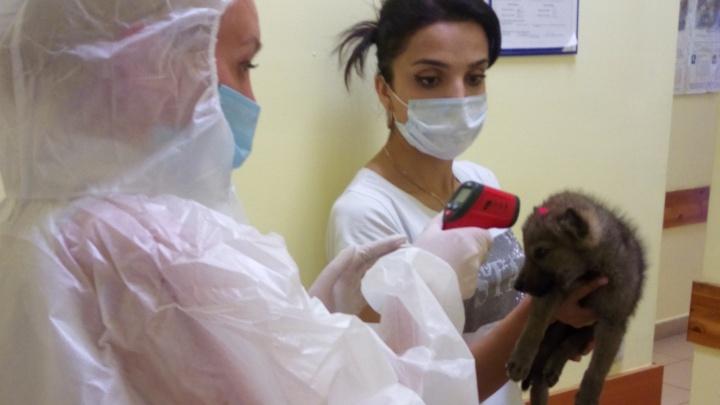 Щенка, привезённого из Армении, посадили на карантин по COVID-19 в Челябинской области