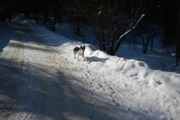Домашним собакам вход на «Столбы» запрещен, а бездомных контролировать некому