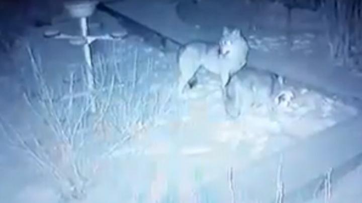 «Собак регулярно таскают»: в Ленском районе хищники выходят прямо к домам