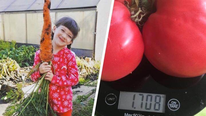 Помидор в 1,7 килограмма и огромные морковки: разглядываем огородные достижения уральцев