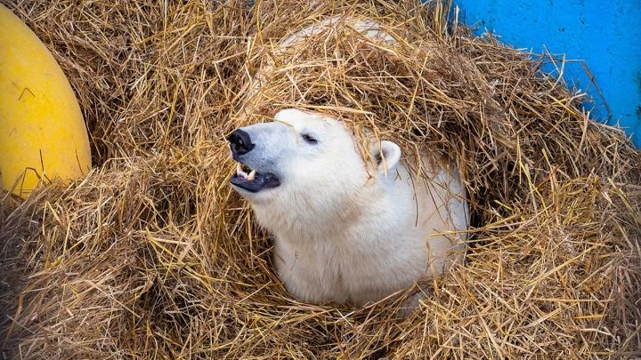 Белым медведям в зоопарке устроили праздник с тортом в честь наступления зимы