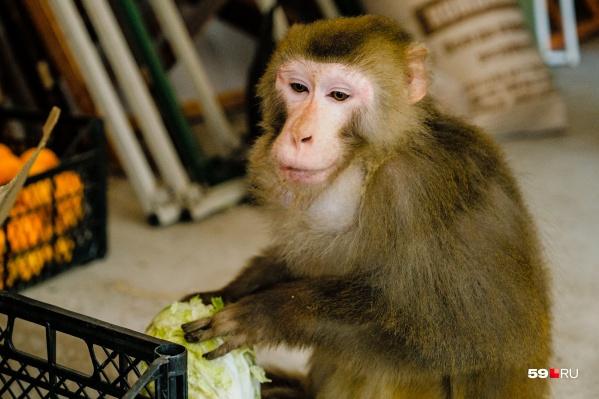 Сёма любит пекинскую капусту больше, чем яблоки. Но больше всего обожает семечки и делает из них запасы за щеками