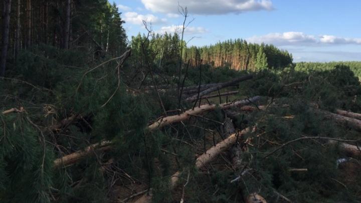 В Зауралье за незаконную вырубку деревьев будут судить главу крестьянско-фермерского хозяйства