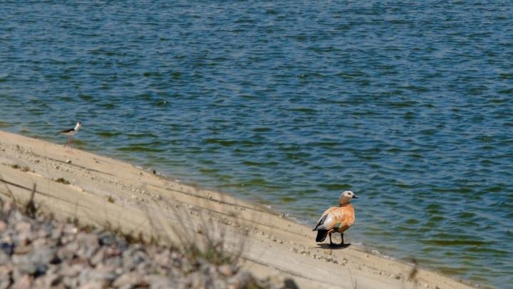 На крыльях весны: пруды-накопители Гремячинского ГОКа облюбовали стаи краснокнижных уток