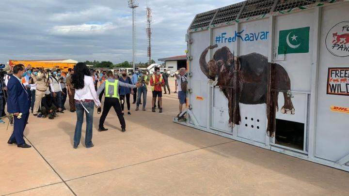 Екатеринбургская компания перевезла в Камбоджу слона, которого спасла певица Шер