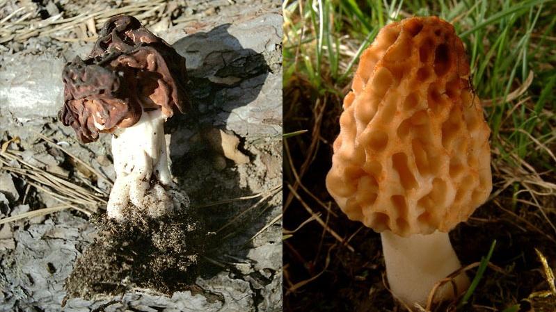 В ближайшее время встреча с этими красавцами вам не грозит, это — грибы-подснежники. Но и их надо знать. Оба похожи на мозги, но один съедобный, а другой полон токсинов. Какой выбираете?