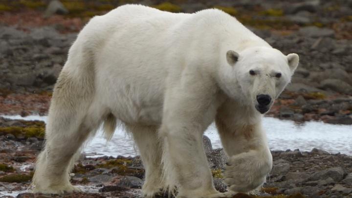 «До височной артерии не хватило сантиметра»: сотрудник «Русской Арктики» — о нападении белого медведя