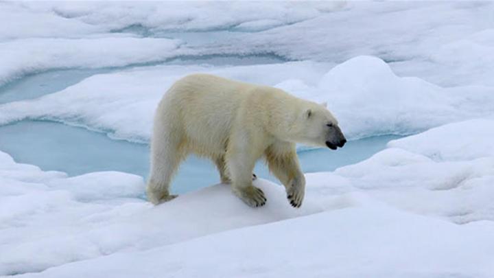 Белые медведи поссорились из-за моржа на Новой Земле: смотрим видео из Арктики