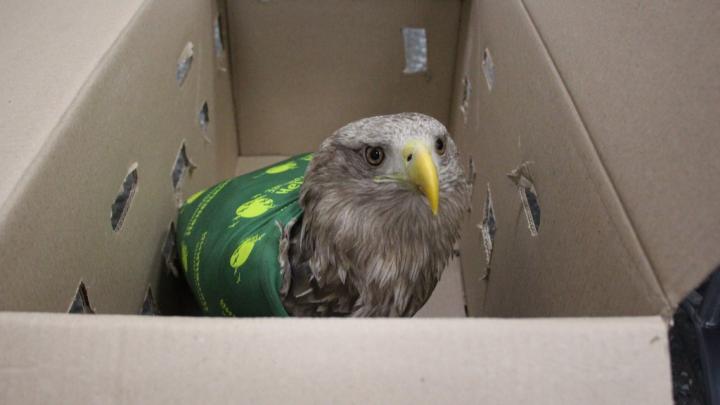 В НАО спасли краснокнижного орлана-белохвоста, по которому стреляли браконьеры
