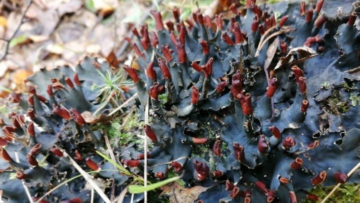 Новосибирцы нашли в лесу пугающий черно-красный гриб