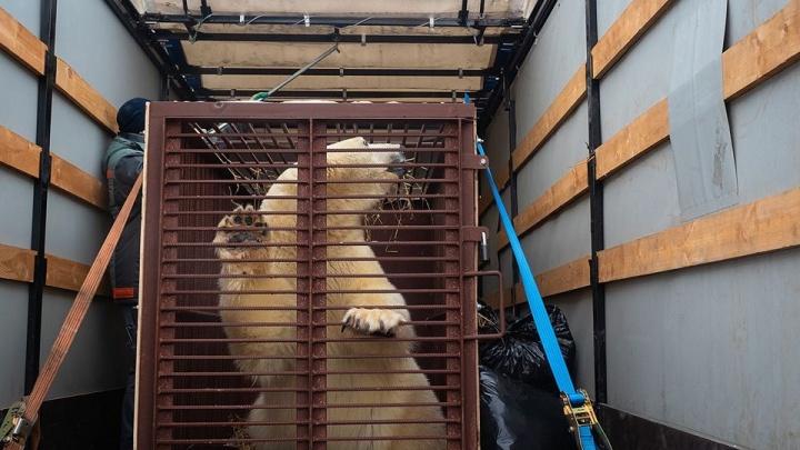 «Очень красива и хороша собой»: белая медведица Аврора приехала в ижевский зоопарк для создания пары
