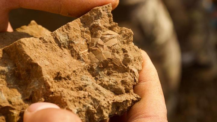 Ученые нашли в Кузбассе редкое яйцо динозавра, его возраст — 125 миллионов лет