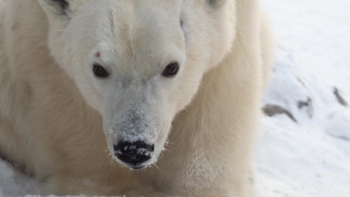 «Шанс построить новую семью»: в зоопарк Ижевска переезжает медведица из «Роева ручья»