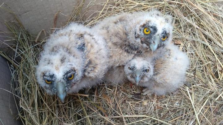 Екатеринбургские орнитологи ищут приемные семьи для осиротевших птенцов ушастых сов