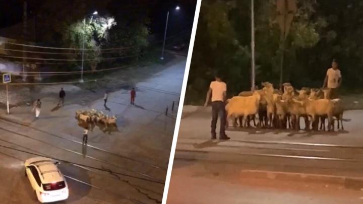 «Опять сбежали, козлы!» В Екатеринбурге мужчина ловил животных, мечущихся по перекрестку: видео