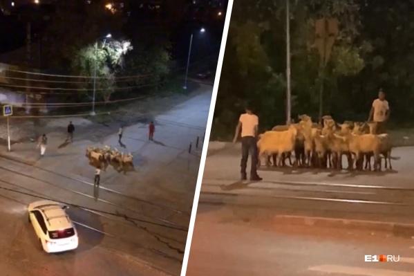 Животные, отбившиеся от рук и бегавшие по перекрестку, не на шутку испугали жителей соседних домов