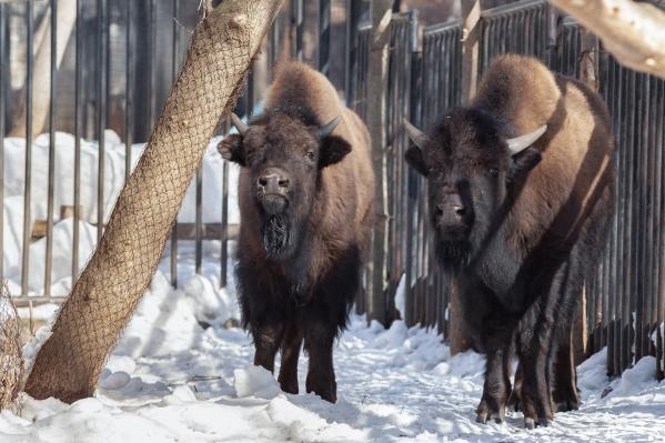 Бизоны являются исчезающим видом, который ранее существовал на территории Сибири