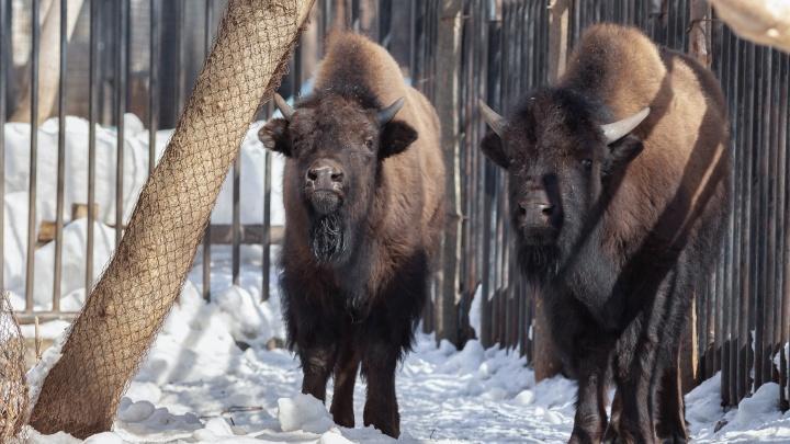 В Новосибирском зоопарке впервые появились бизоны — их доставили грузовиком из Якутии