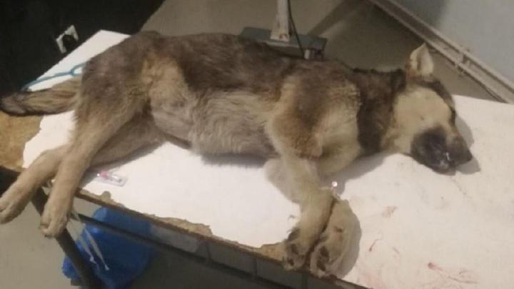 Ветеринары оказались бессильны: сбитая внедорожником собака умерла