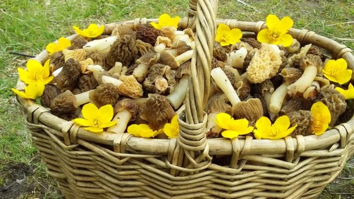 В Прикамье начался сезон сморчков и строчков. Как их правильно приготовить, чтобы не отравиться