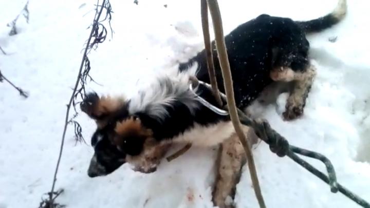 Вытащили — начала есть снег: на Уралмаше спасли собачку, рухнувшую в двухметровую яму на кладбище