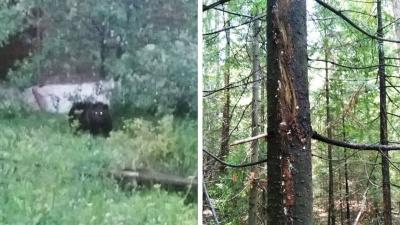 Под Первоуральском наглый медведь повадился гулять по садовым участкам: видео