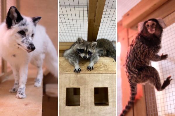 Постоянные посетители зоопарка приобретают билеты с отложенной датой, привозят корм либо приходят и помогают с уборкой. Таким образом получается прокормить животных