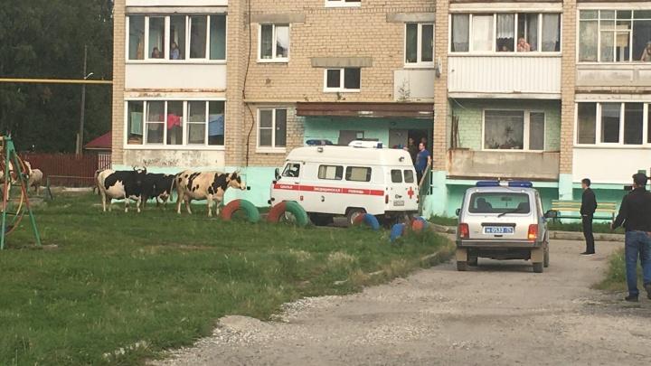 В Челябинской области коровы напали на женщину и устроили полицейскому забег