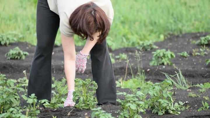 Будем сажать картошку! Уральцы вспомнили дачные традиции 90-х и строят планы на сезон