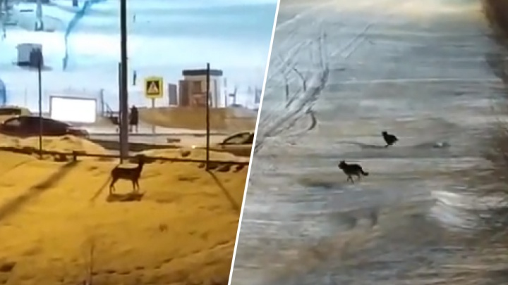 В «Бобровому логу» сняли погоню собак за выбежавшей к людям косулей