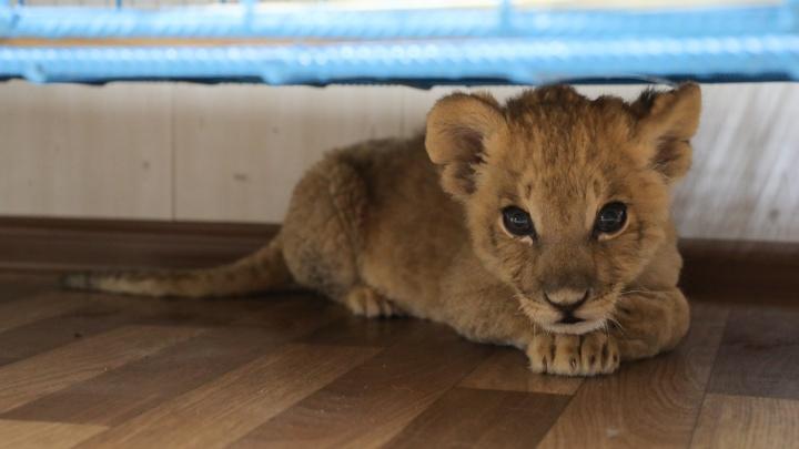 «Ставим уколы и гладим животик»: у спасенного в Волгограде львенка обнаружили внебольничную пневмонию