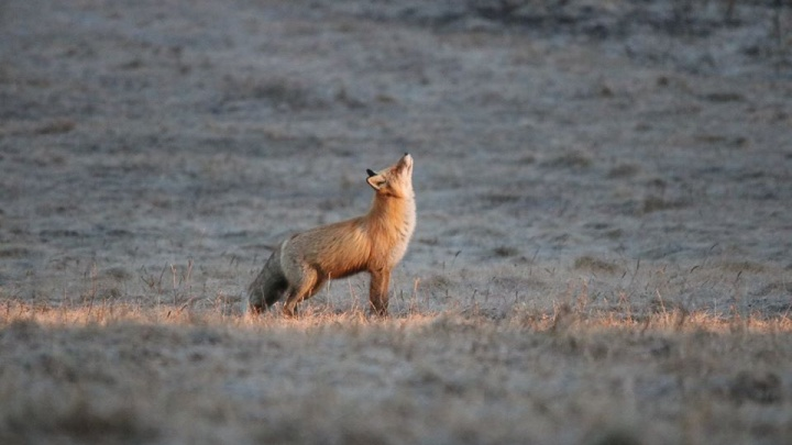 Любопытная лиса преследовала фотографа в закрытом от туристов нацпарке на юге края
