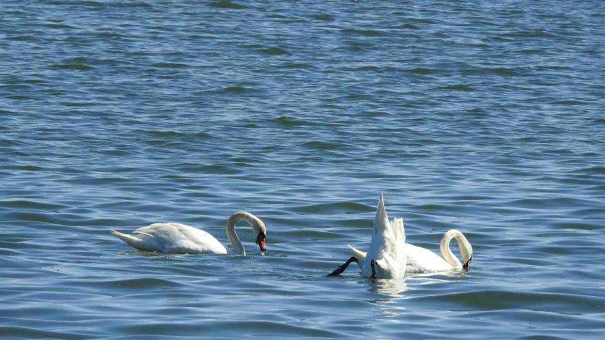Природа настолько очистилась? На Шарташе обосновалась стая белых лебедей