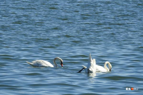 На Шарташе заметили шесть белых лебедей