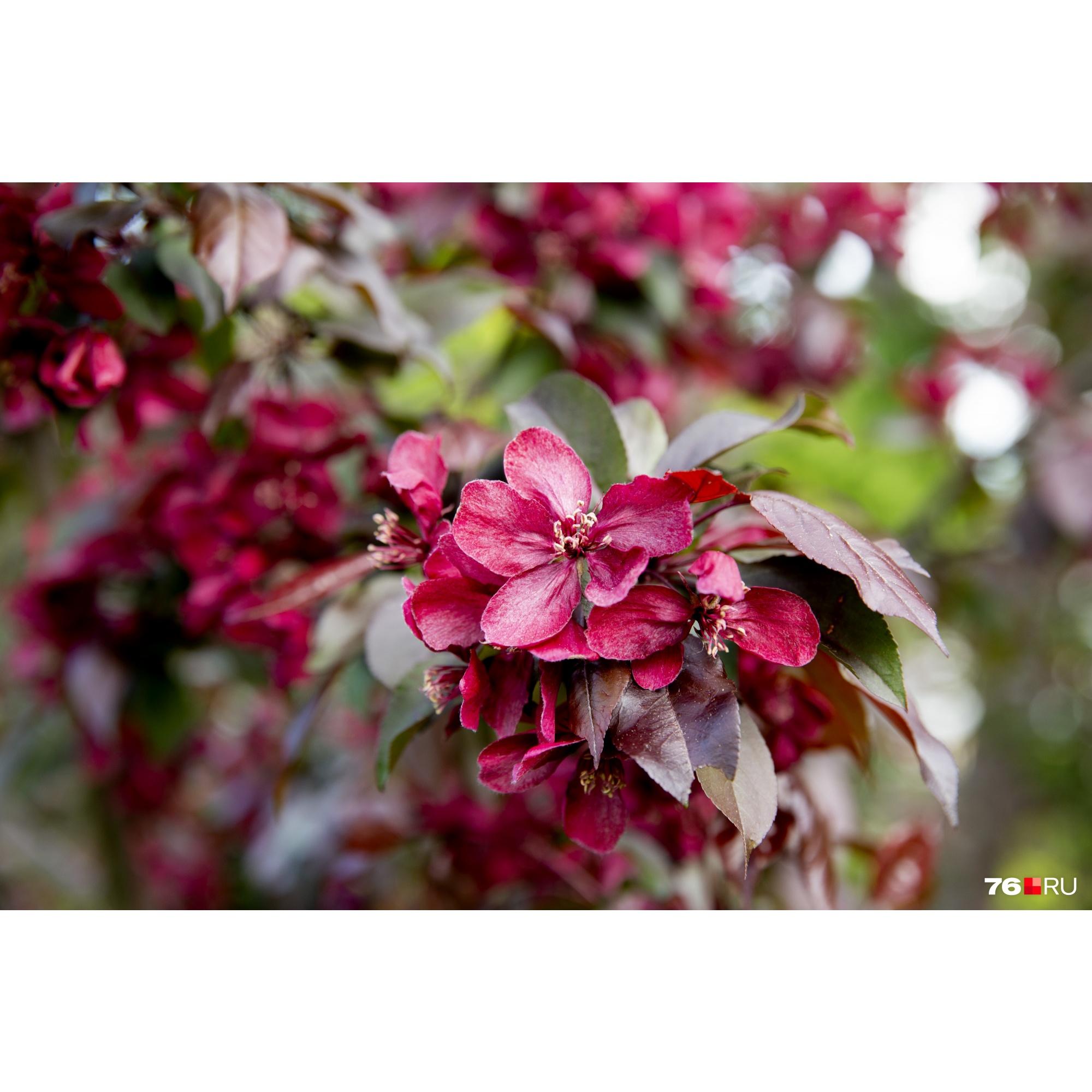 Декоративная яблоня цветёт