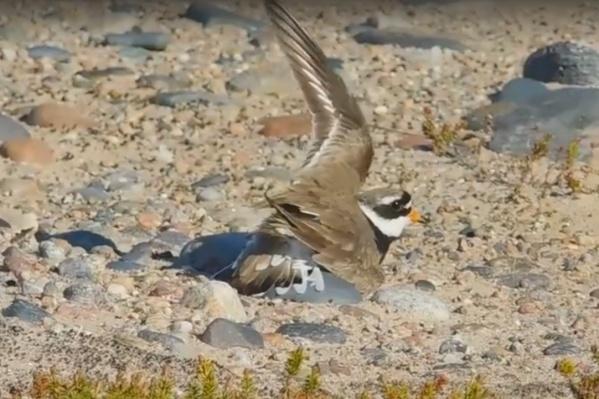 На зобе у этой птицы — черная полоса, которая напоминает галстук. Отсюда и название «галстучник»