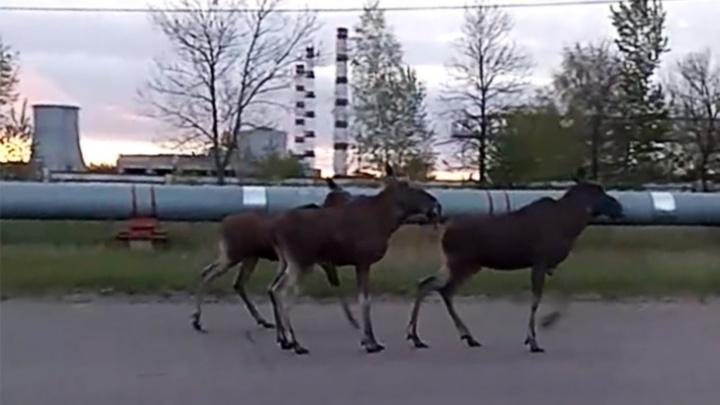 Шумовые отряды: Ярославль будут охранять от диких животных