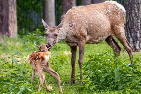Зоопарк по-прежнему закрыт для посетителей, поэтому полюбоваться на малышей можно пока только на снимках