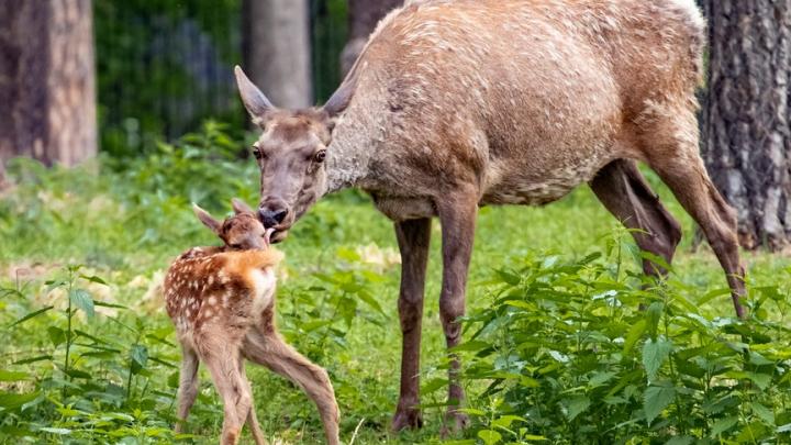 В Новосибирском зоопарке у алтайских маралов появились детеныши — публикуем милые фото