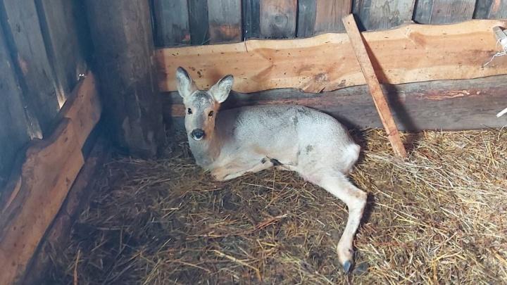 В заборе частного дома Тобольска застряла беременная косуля