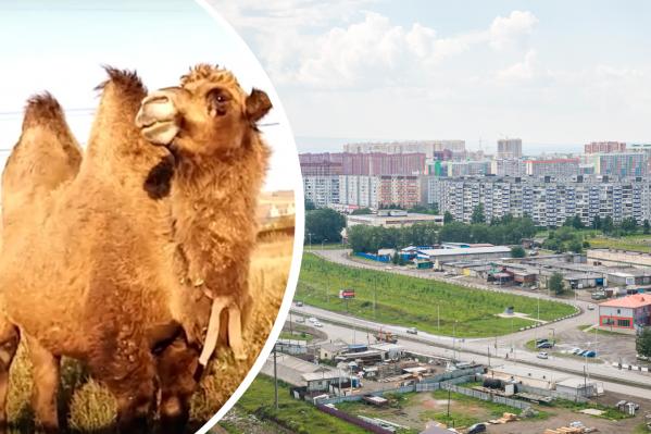 Красноярцы встретили верблюда, разгуливающего по микрорайону Солнечный