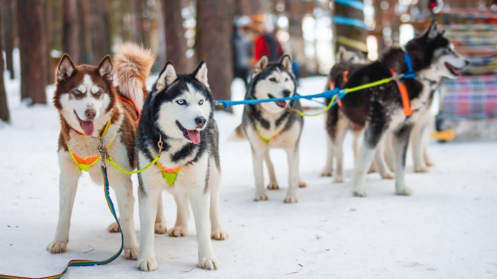 Скоро собак будет нечем кормить: на Урале закрылся парк, где можно было покататься в упряжке с хаски