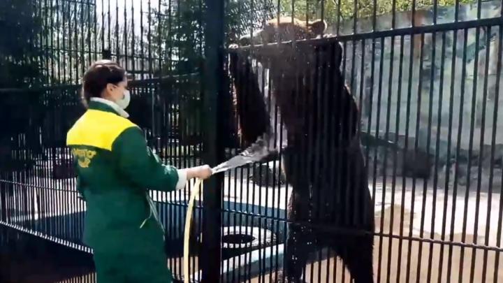 Видео дня. Как в зоопарке «Лимпопо» медведей спасают от жары мороженым и не только