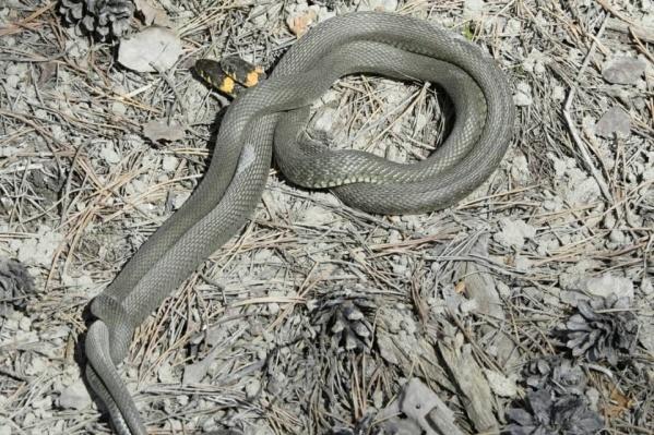Змеи уже вовсю атакуют дачные участки тюменцев. А вы уже видели их? Расскажите свою историю в комментариях