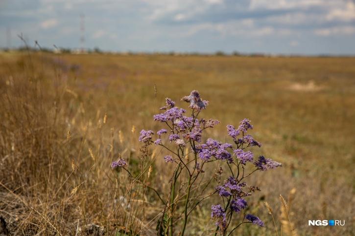 Кермек — одно из самых красивых растений в Кулундинской степи