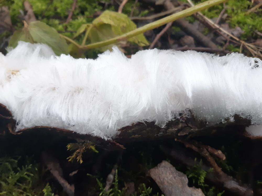 «ледяные волосы» также на выходных нашли и в лесу под Красным Селом
